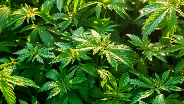 Kokoomusnuoret tyytyväisiä vihreiden uudesta kannabis-kannasta